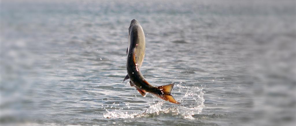 Fresh Salmon Florida